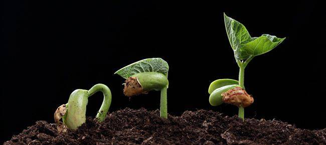 Перекись укрепляет иммунитет семян и обеззараживает